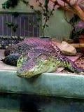 Alligator Krokodillen Lat Crocodilia is grote aquatische reptielen die door de keerkringen in Afrika, Azi?, Amerika leven stock fotografie