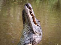 Alligator in Lake Stock Images