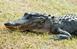 Alligator on land Stock Image