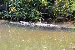 Alligator. Large alligator in a pond of dirty water surrounded with vegetation Royalty Free Stock Photo