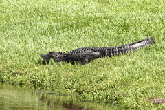 Alligator on the lawn Royalty Free Stock Photo