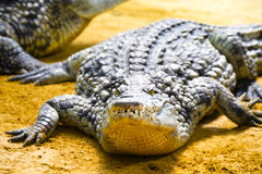 Alligator laying on the sand Stock Photo