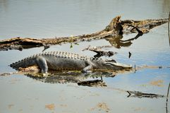 Alligator lays on tree branch in the water Stock Photos