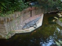 Alligator Libor Royaltyfria Bilder