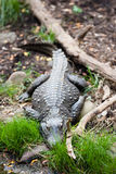 Alligator. An alligator lies in wait on the bank Stock Image