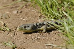 Alligator lizard Royalty Free Stock Photos