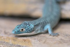 Alligator lizard crawling on rocky surface royalty free stock photography