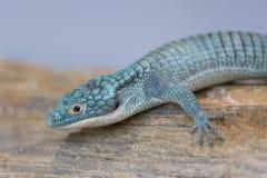 Alligator lizard crawling on rocky surface royalty free stock image