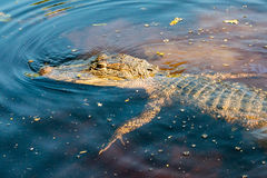 Alligator looking for prey in Louisiana bayou stock photo