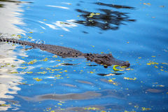 Alligator in Louisiana swamp Royalty Free Stock Photography