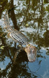 Alligator in Louisiana Swamp, USA; Royalty Free Stock Image