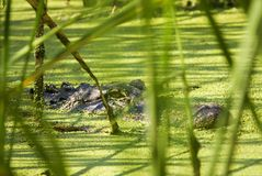 Alligator Lurking Behind Reeds Royalty Free Stock Images