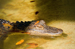 Alligator lurking on the shoreline Royalty Free Stock Image