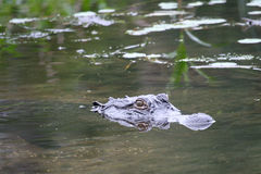 Alligator lurking in water Royalty Free Stock Photography