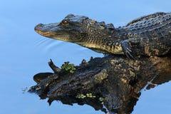 Alligator Lurks on Blue Lake. An alligator surveys the scene at Lettuce Lake Park in Tampa, Florida on February 14, 2018 Royalty Free Stock Image