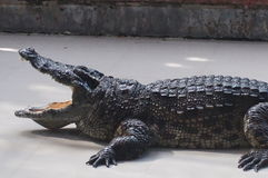 Alligator lying on the concrete floor with open mouth. Crocodile with open mouth facing the viewer, closeup shot Stock Photo