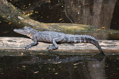 Alligator lying in the middle of the swamp Royalty Free Stock Image
