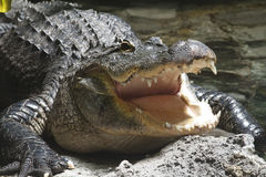 Alligator Smile. An alligator lying in the sand, next to water, with his mouth open Royalty Free Stock Images