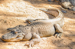 Alligator lying in the sun. Horizontal takes Stock Images