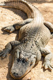 Alligator lying in the sun. Vertical takes Stock Photography