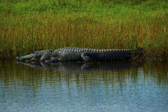 Alligator in the marsh Royalty Free Stock Image