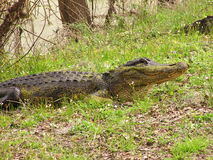 Alligator in marsh Royalty Free Stock Images