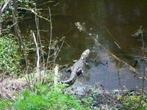 Alligator Stock Photography