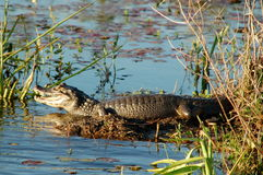 Alligator in marshland. Caiman waiting for prey in Argentine Wetlands Stock Photography
