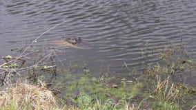 Alligator met haar babys stock videobeelden