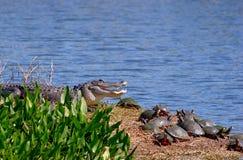 Alligator met Schildpadden Stock Foto's