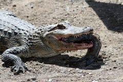 Alligator met vissen Stock Afbeeldingen