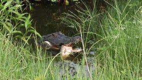 Alligator met vissen het verbergen stock video