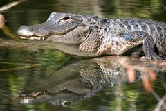 Alligator in Swamp with Reflection Royalty Free Stock Photo