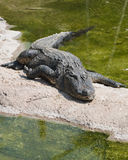 Alligator Mississipiensis Royalty Free Stock Photo