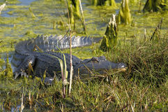 Alligator mississippiensis, american alligator. Resting on the beach Royalty Free Stock Photos