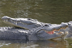 Alligator mississippiensis, american alligator Royalty Free Stock Photography