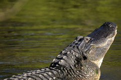 Alligator mississippiensis, american alligator Stock Photos
