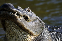 Alligator mississippiensis, american alligator Royalty Free Stock Images