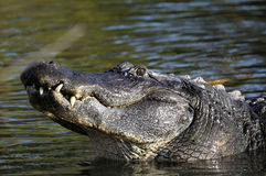 Alligator mississippiensis, american alligator Royalty Free Stock Image
