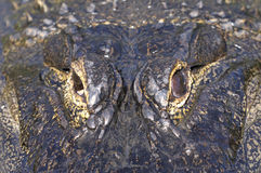 Alligator mississippiensis, american alligator Stock Image