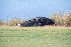 Alligator mississippiensis americano molto grande che prende il sole sul si Immagine Stock Libera da Diritti