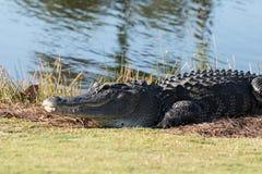 Alligator mississippiensis americano molto grande che prende il sole sul si Immagini Stock Libere da Diritti
