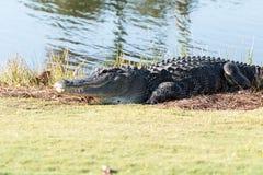 Alligator mississippiensis americano molto grande che prende il sole sul si Immagine Stock