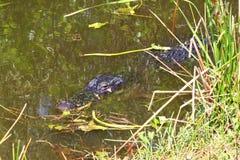 Alligator mississippiensis dell'alligatore americano Fotografia Stock Libera da Diritti