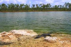 Alligator mississippiensis dell'alligatore americano Immagini Stock