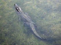 Alligator mississippiensis dell'alligatore americano Fotografie Stock