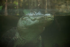 Alligator mississippiensis dell'alligatore americano Fotografie Stock Libere da Diritti