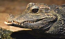 Alligator mississippiensis dell'alligatore americano Immagini Stock Libere da Diritti