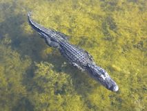 Alligator mississippiensis dell'alligatore americano Fotografia Stock Libera da Diritti