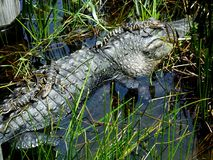 Alligator mississippiensis dell'alligatore americano Immagini Stock